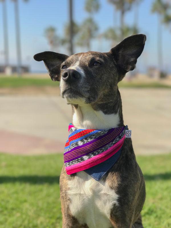 dog sitting in the beach wearing bandana