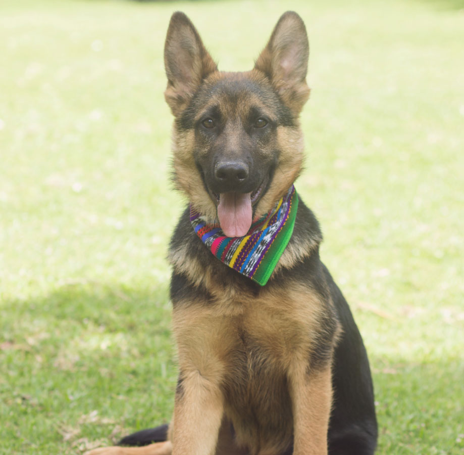 german shepherd sitting wearing stripe bandana