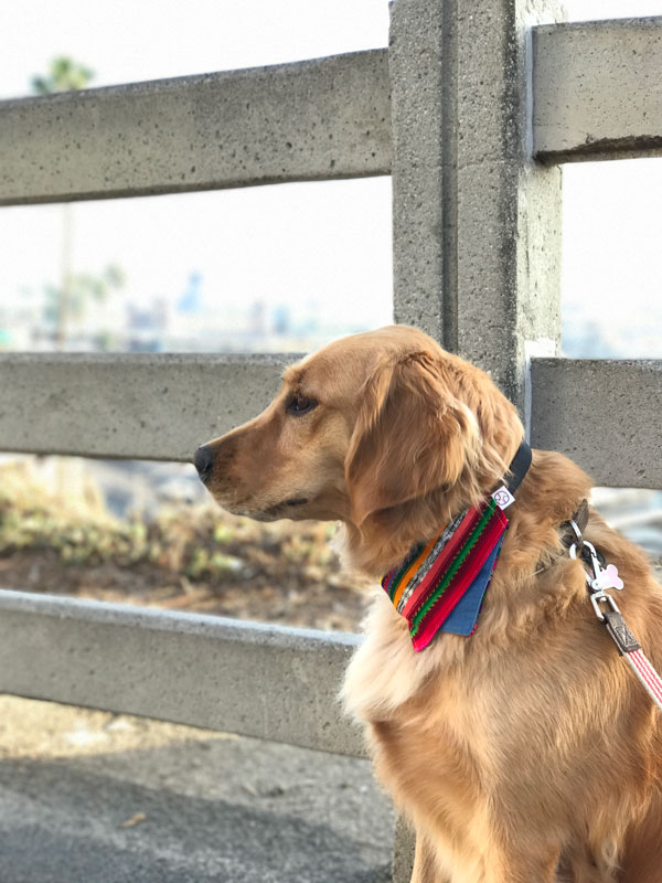 golden retriever wearing multicolor bandana