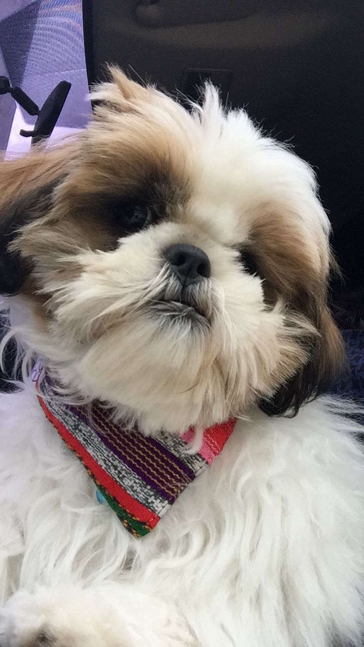 shih tzu dog wearing bandana with stripes