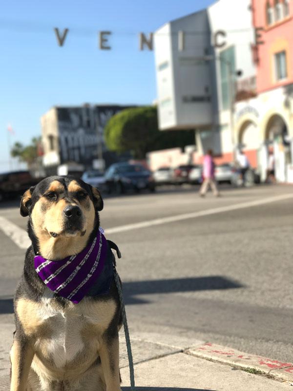 dog wearing purple bandana in Venice