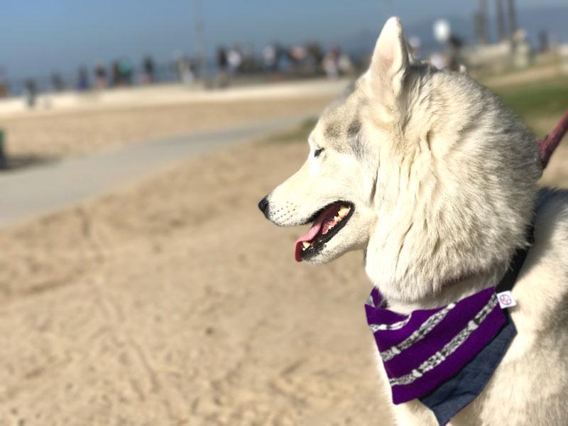 husky dog wearing purple bandana