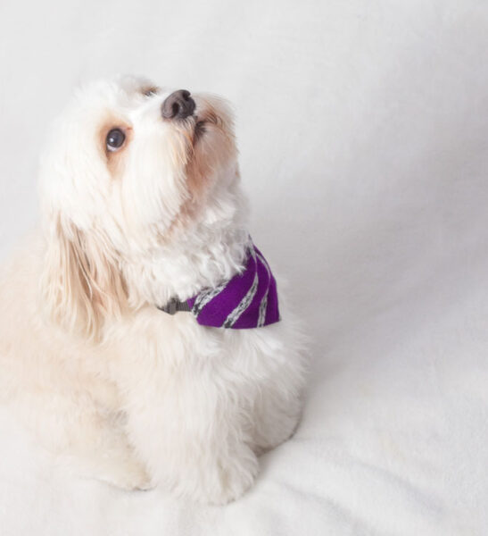french poodle wearing purple bandana
