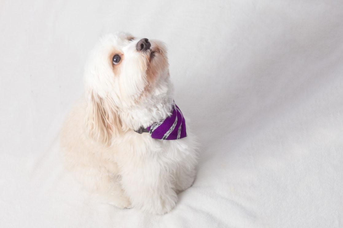 french poodle wearing purple bandana