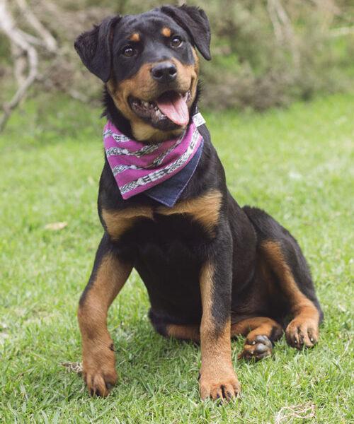 Rottweiler puppy wearing pink bandana