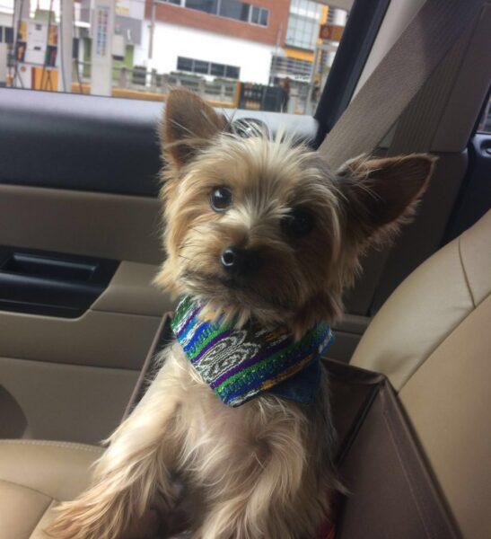 yorkie wearing dog bandana