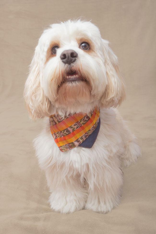 french poodle wearing orange brown and yellow bandana