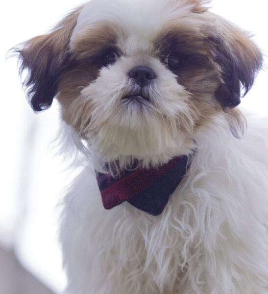 shih tzu dog wearing navy and red bandana