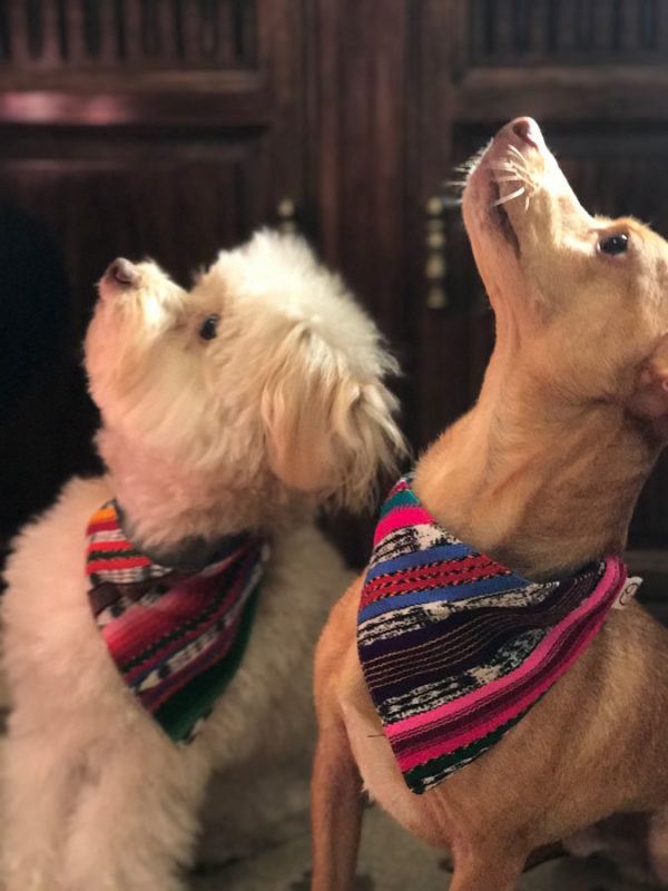 Bo and Chico wearing their dog bandanas